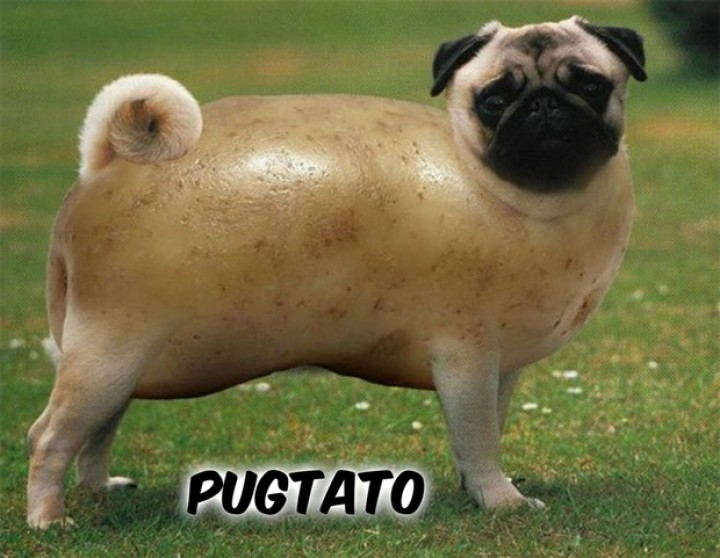 The Pugtato